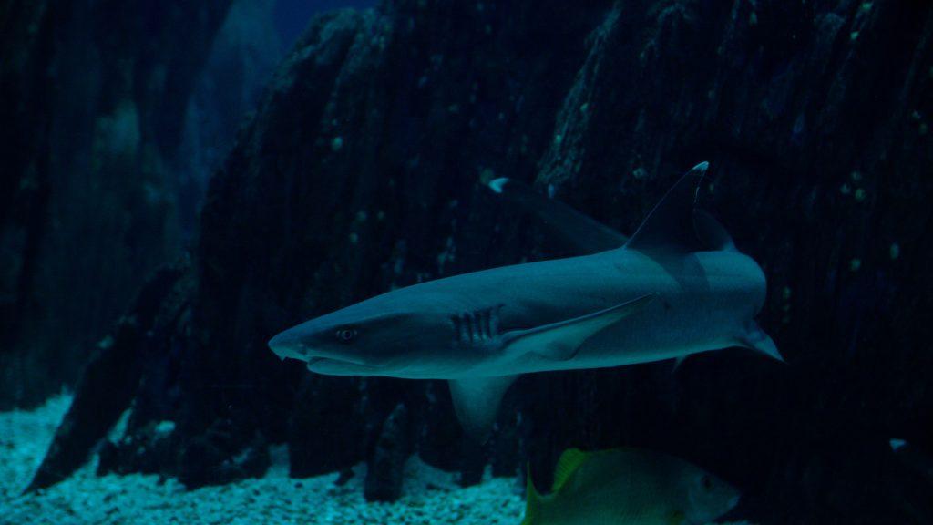 Tubarão-pontas-brancas-recife_Oceanario de Lisboa_
