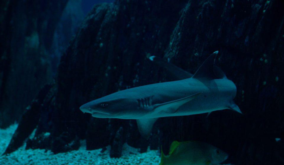 Há uma nova espécie de tubarão para ver no Oceanário de Lisboa