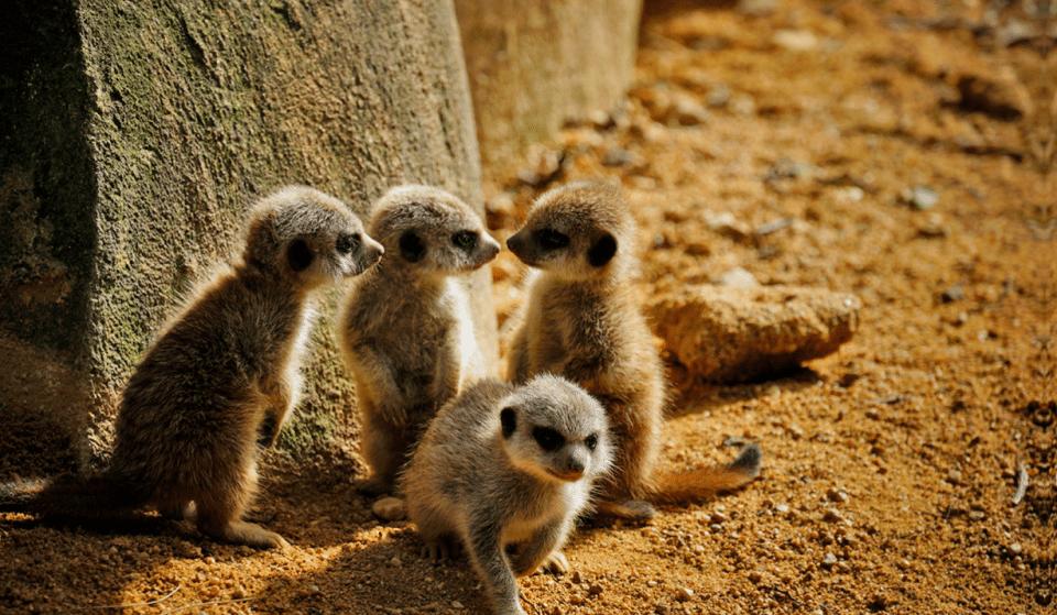 Há novas crias de suricatas para ver no Jardim Zoológico de Lisboa