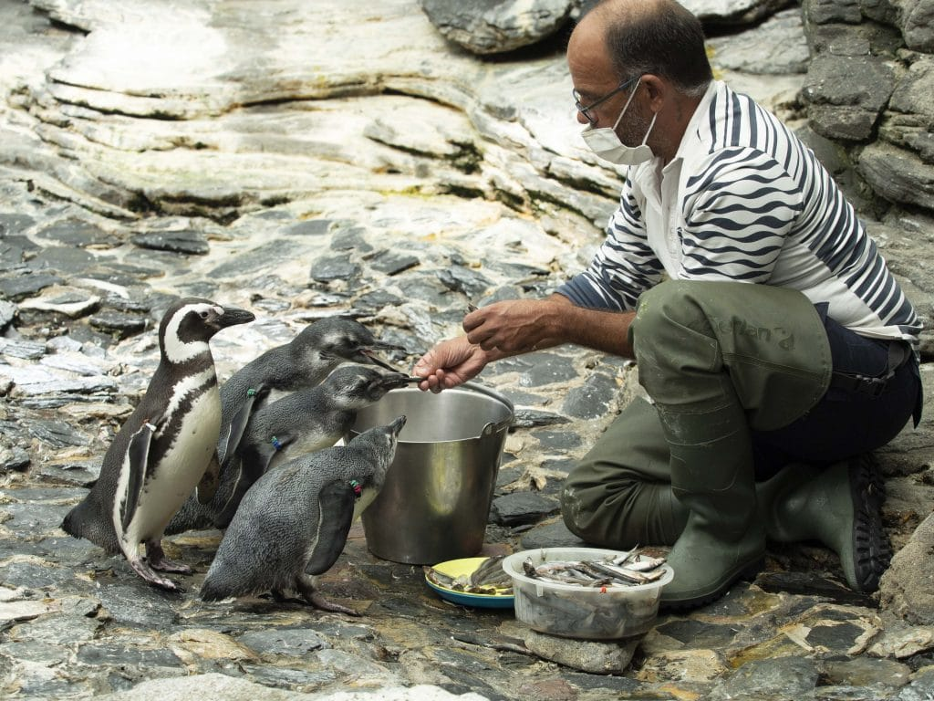 Há três novas crias de pinguim no Oceanário de Lisboa
