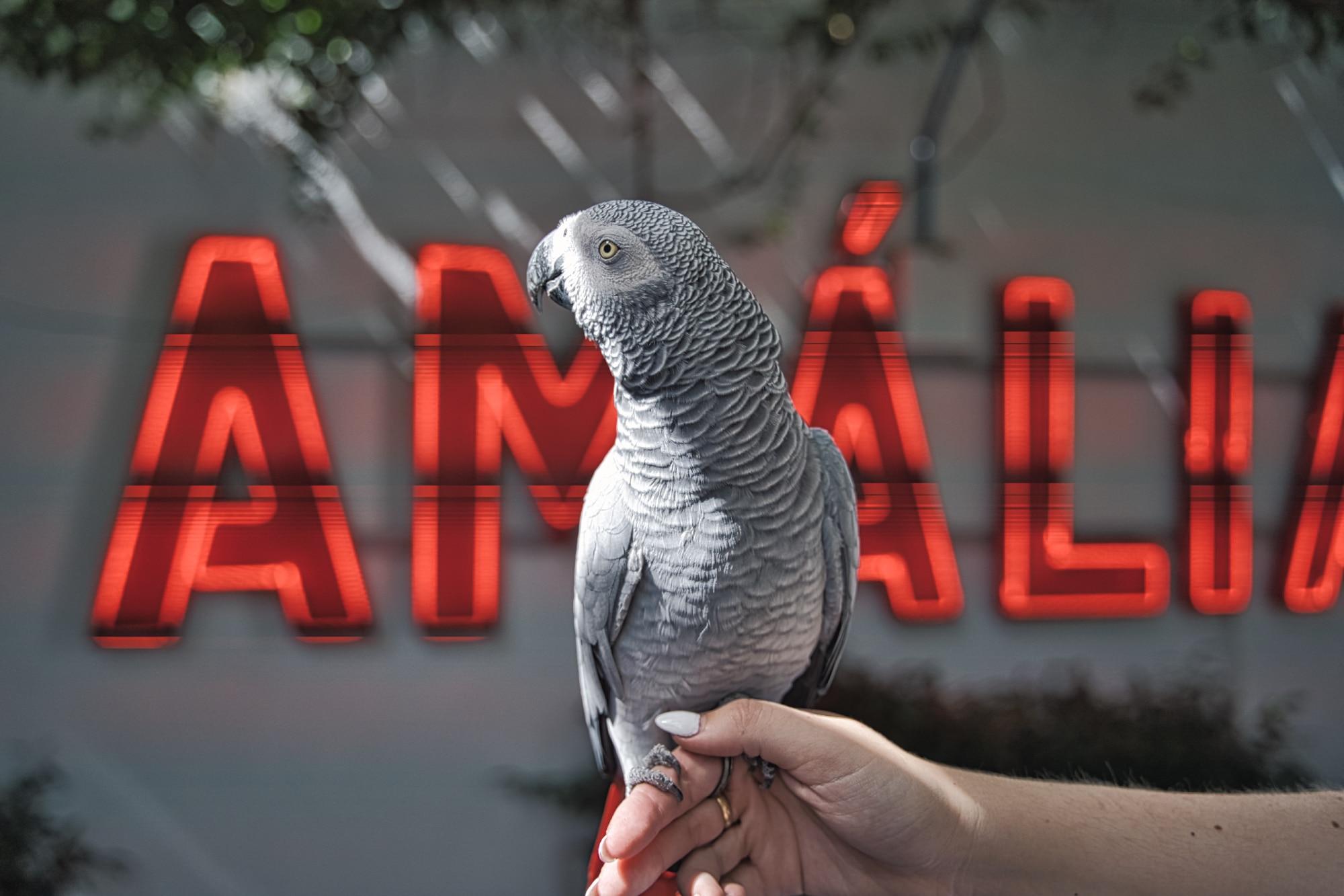 De certeza que te vais divertir com o que diz o Chico, o papagaio de Amália Rodrigues. É tão engraçado!
