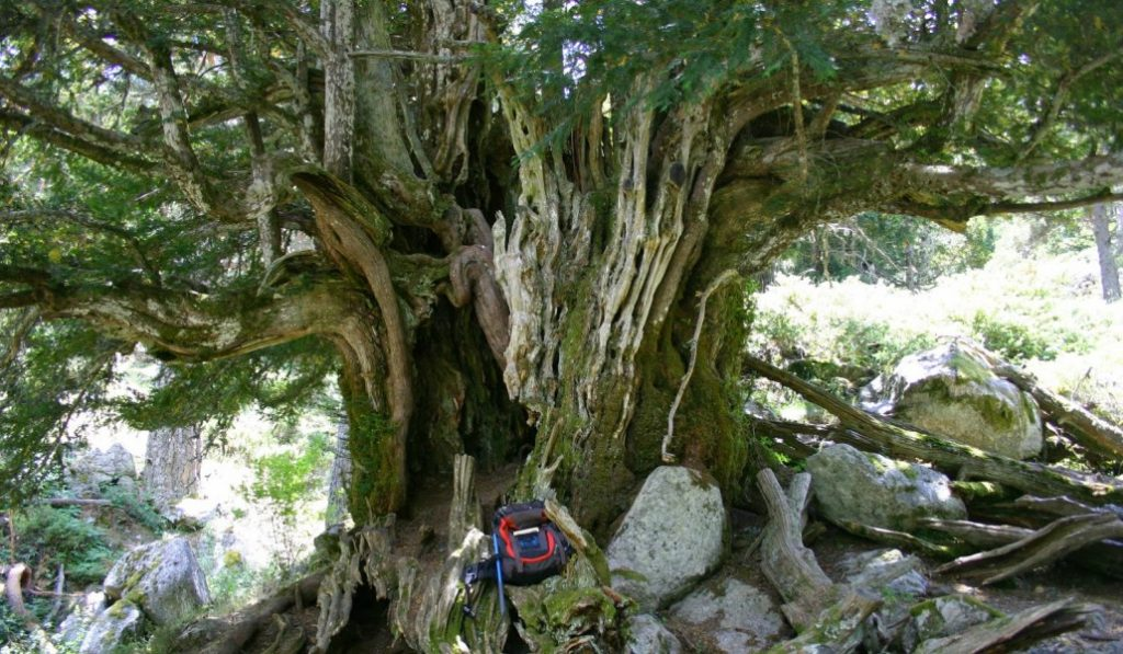 El ser vivo más viejo de España está en Madrid y es un árbol