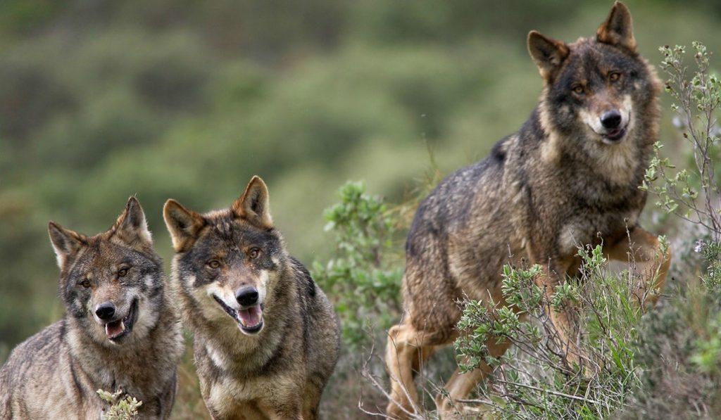 Cuándo y por qué ha vuelto el lobo a Madrid