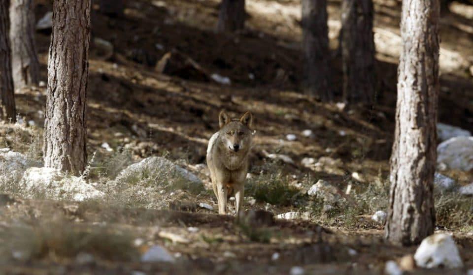 Los ganaderos defienden su derecho a matar al lobo en la sierra de Madrid
