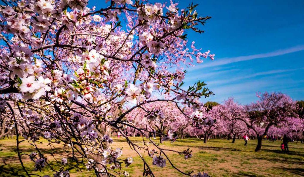 Ya puedes visitar la Quinta de los Molinos y ver a los almendros florecer