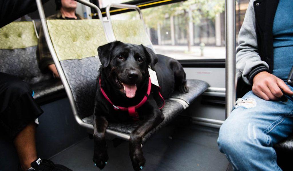 Los perros de Madrid podrán viajar en autobús sin transportín