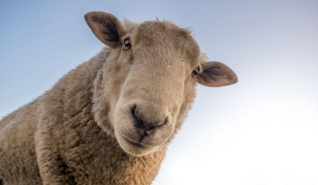 Un rebaño de 600 ovejas se muda a la Casa de Campo