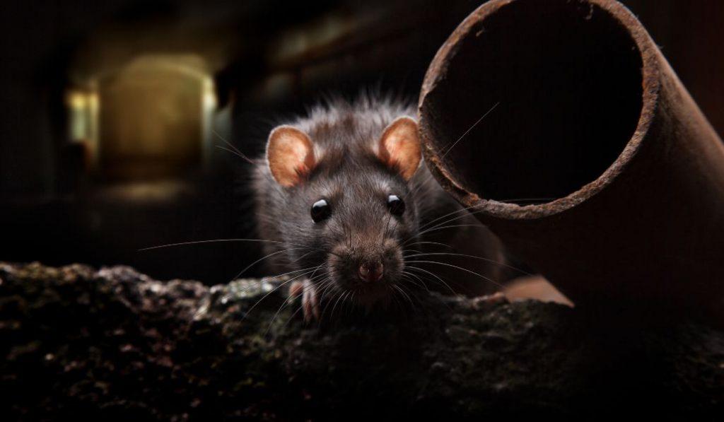 La rata negra se instala Madrid