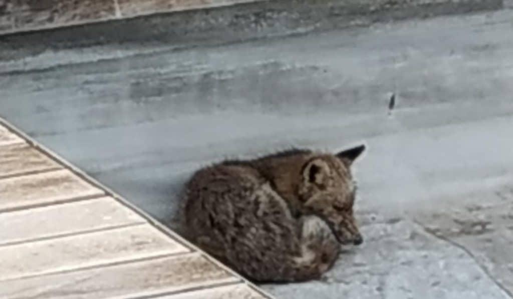 Rescatan a un zorro en el centro comercial de La Gavia en Vallecas