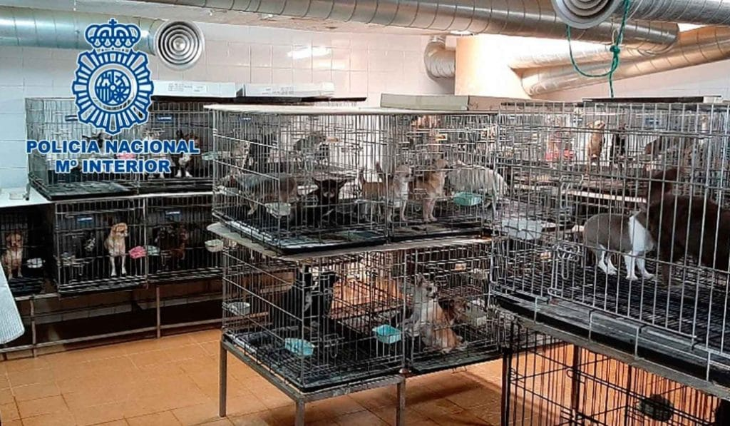 Rescatan a 270 chihuahuas en una operación contra criaderos ilegales