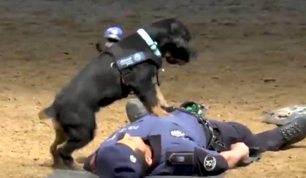 Poncho, el perro policía madrileño que enseña a hacer la maniobra RCP