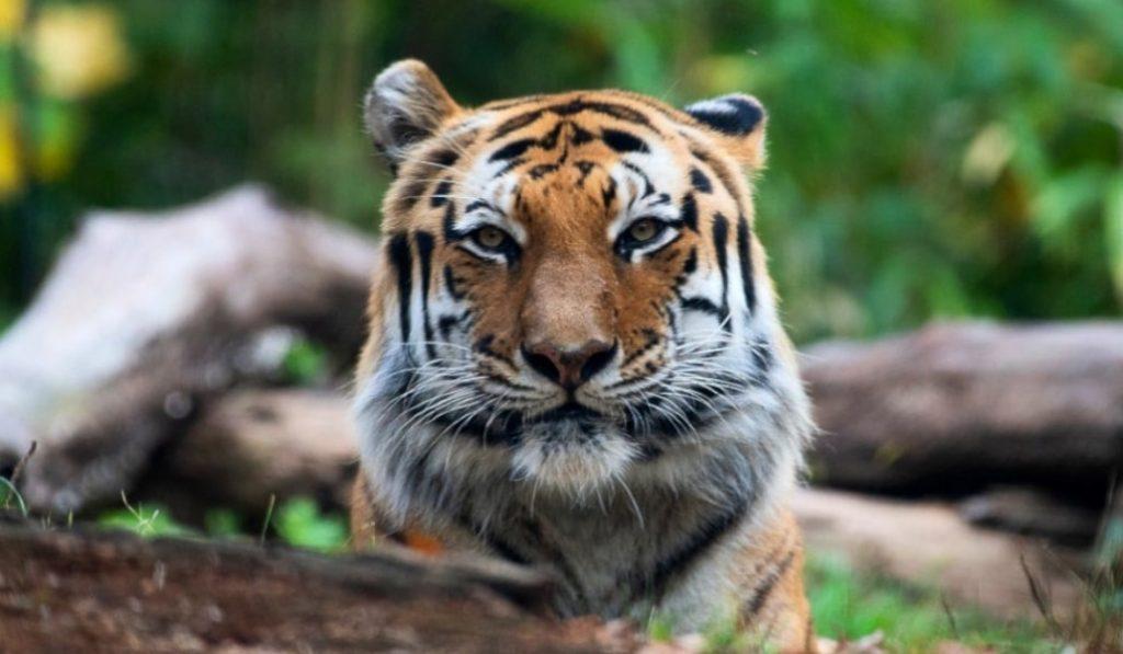 Un tigre del Zoo de Nueva York, el primer animal con coronavirus de EE.UU.