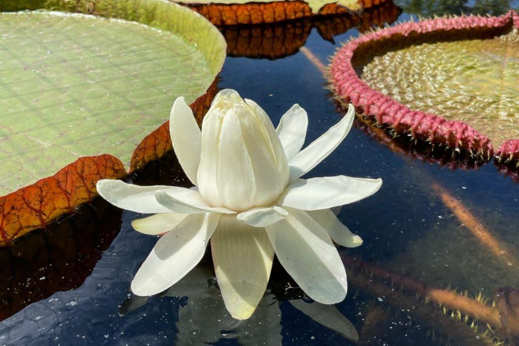 Solo hoy se puede ver la flor del nenúfar gigante Victoria