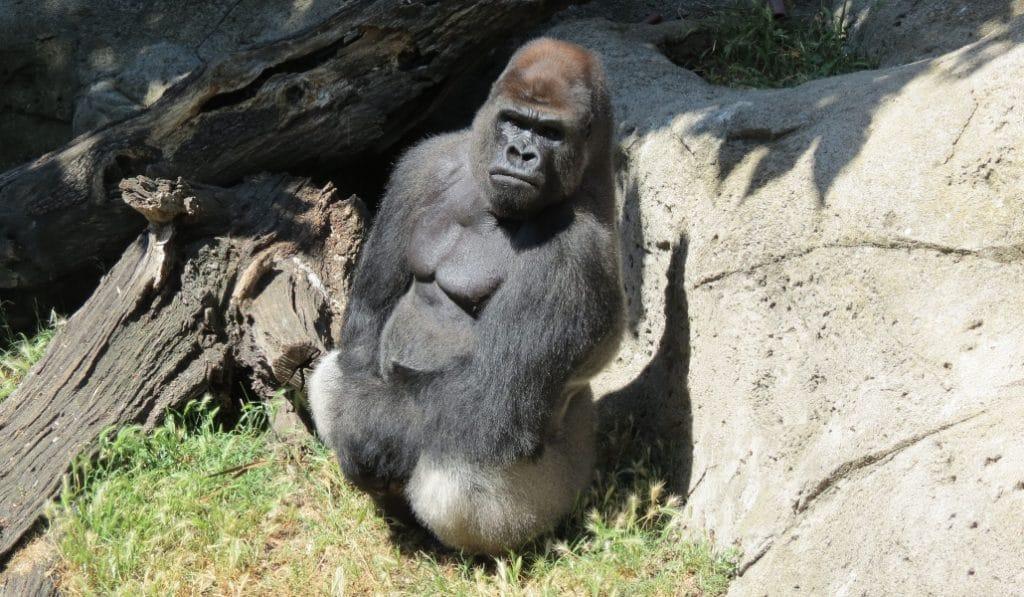 Una cuidadora del Zoo de Madrid en estado grave tras ser atacada por un gorila