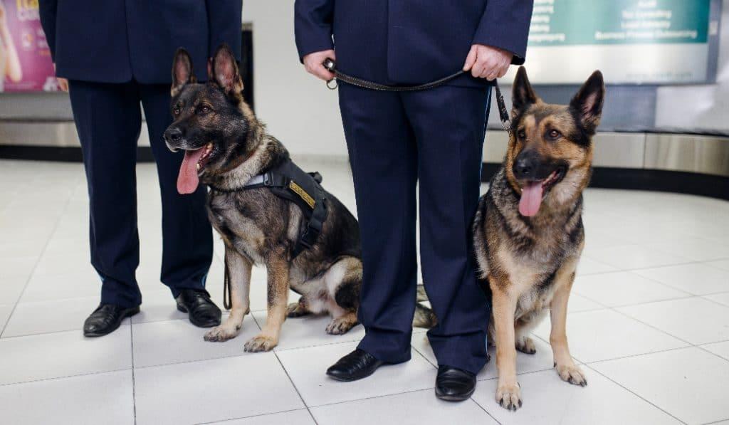 Los perros capaces de detectar el coronavirus ya se emplean en aeropuertos