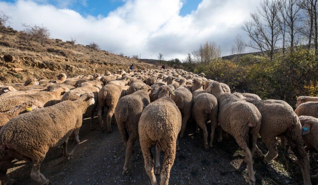 1.300 cabras y ovejas llegan a Madrid a pesar de la pandemia