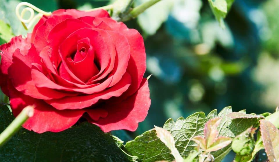 Ya se puede visitar la Rosaleda del Real Jardín Botánico