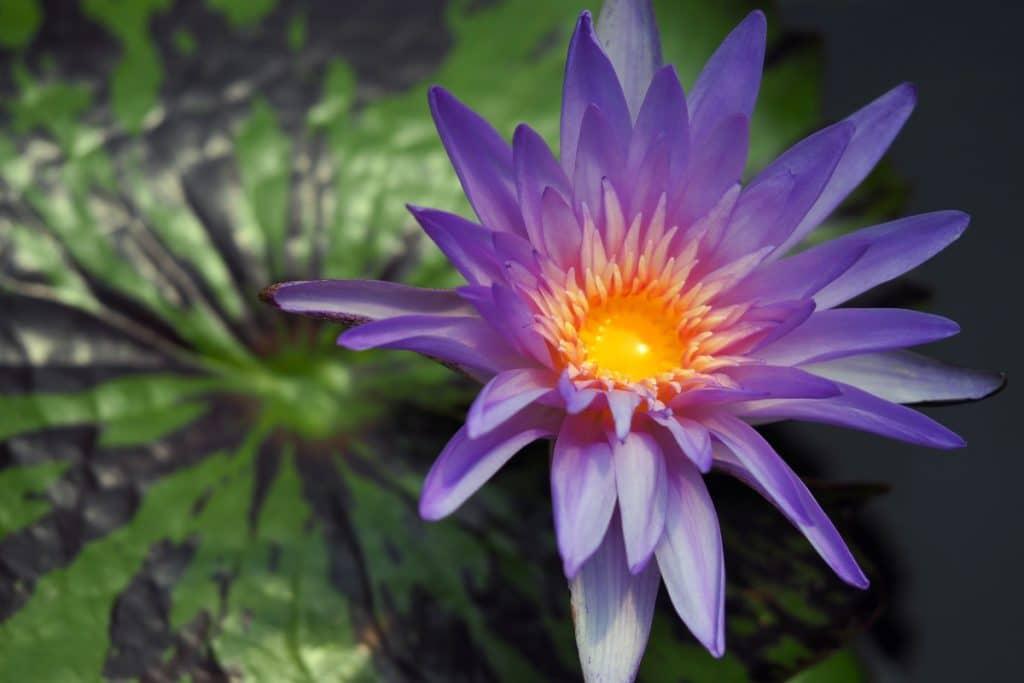 El Jardín Botánico inaugura su colección de nenúfares tropicales 2021