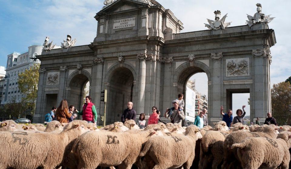 Un rebaño de 1.000 ovejas y 100 cabras llenará el centro de Madrid este domingo