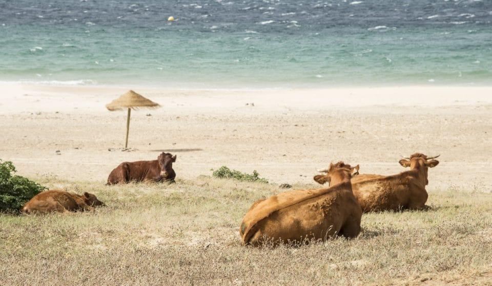 [Vídeo] Una simpática vaca retinta indica dónde está la playa de Bolonia