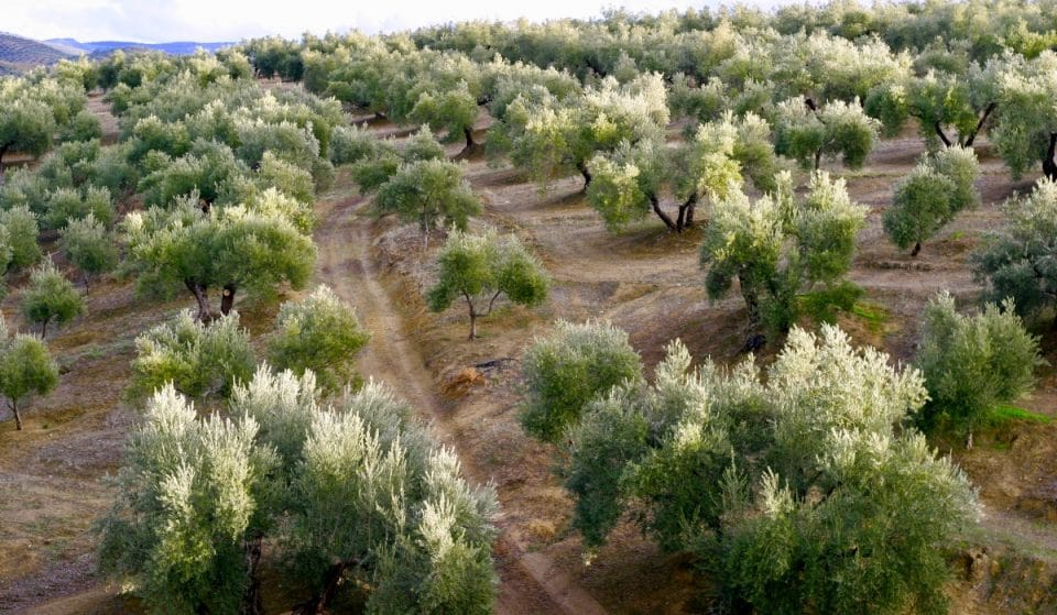 El mejor aceite de oliva del mundo se elabora en Andalucía