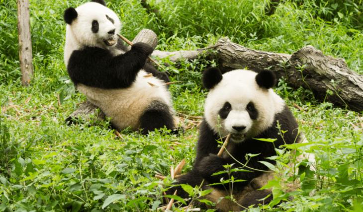Alerte job de rêve : devenez câlineur de pandas pour 25 000€ par an !