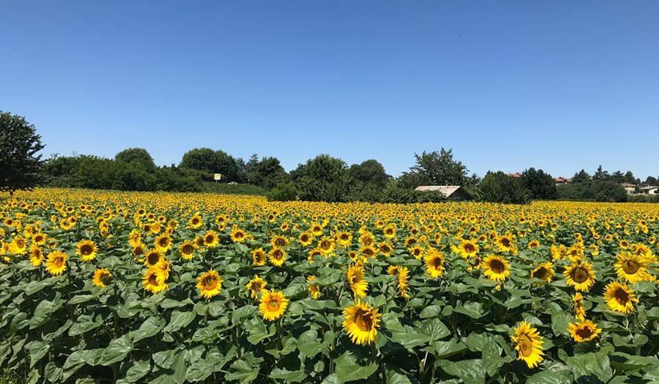In Brianza un mega campo di girasoli offre uno spettacolo dorato