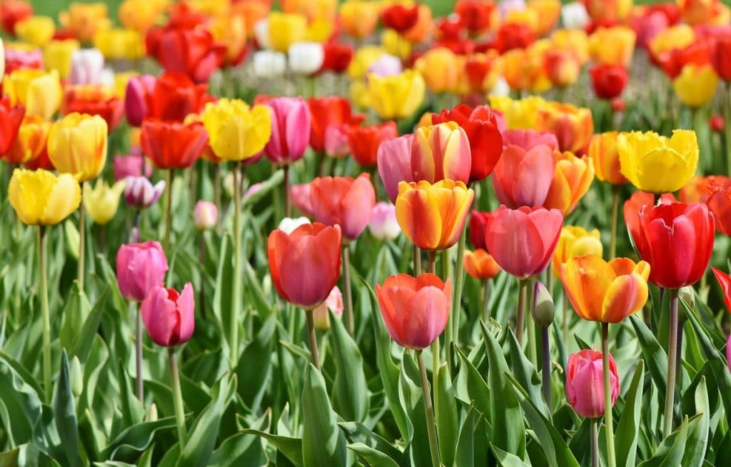 giardino tulipani milano