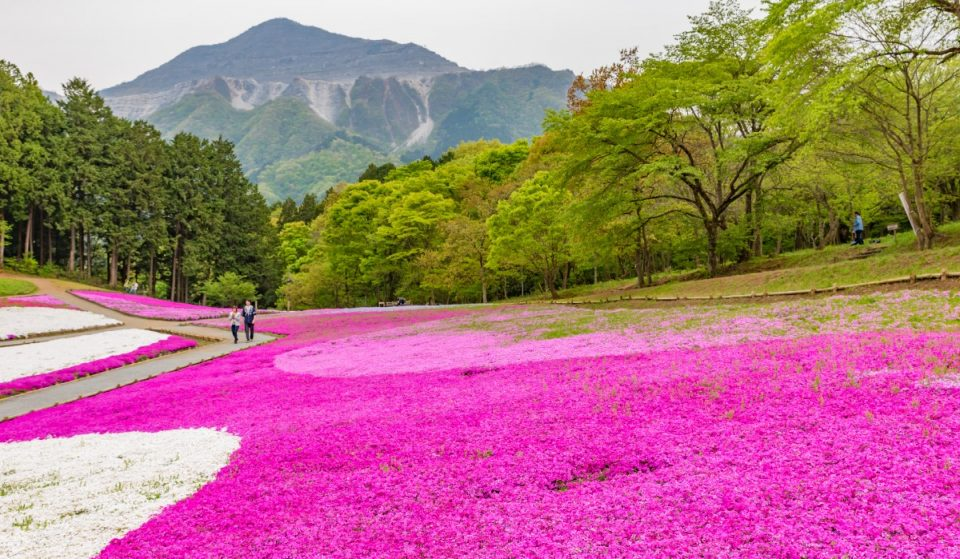 La bellissima fioritura del muschio rosa in Giappone