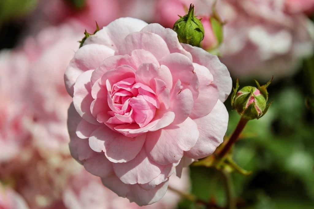 isola rose milano