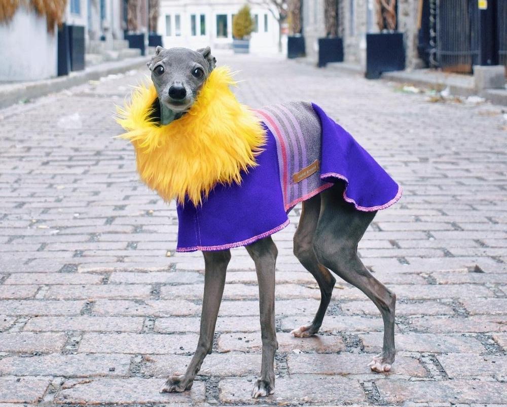 Découvrez Tika, le lévrier italien devenu la coqueluche de Vogue !