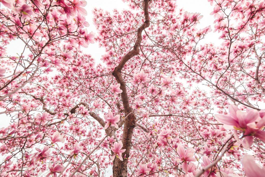 Les magnifiques magnolias de Montréal sont en fleur ! Voici où les trouver