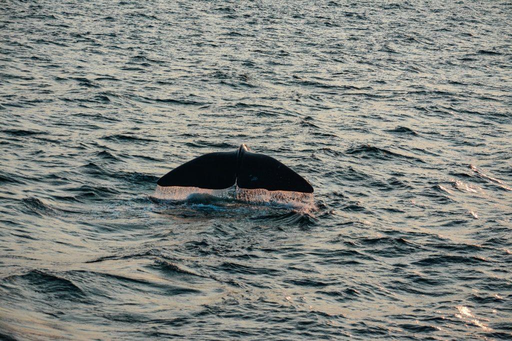 Cette carte interactive vous aidera à observer des baleines dans le Saint-Laurent cet été