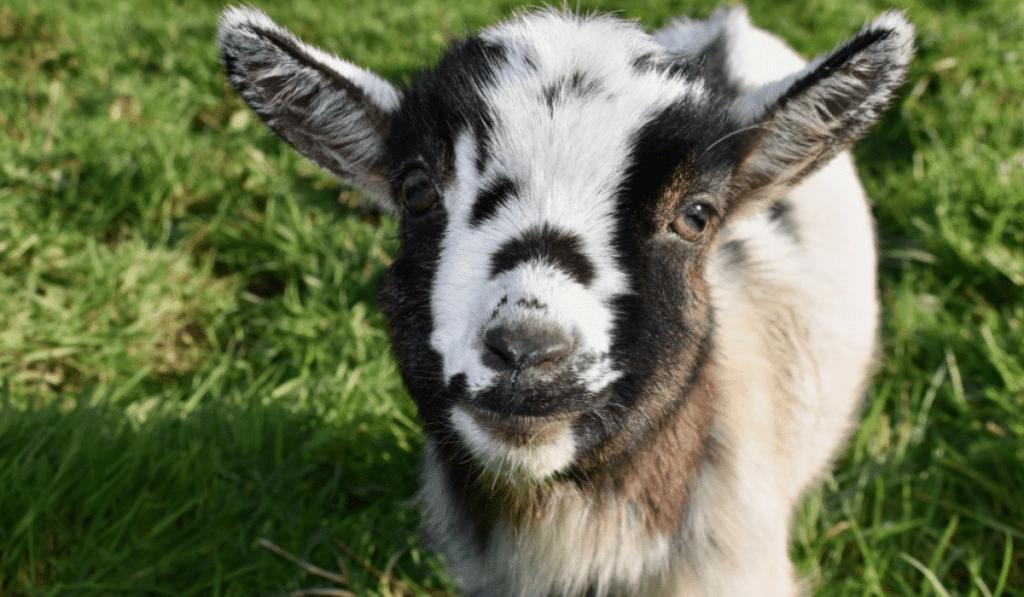 Des Bébés Chèvres à adopter et à biberonner !