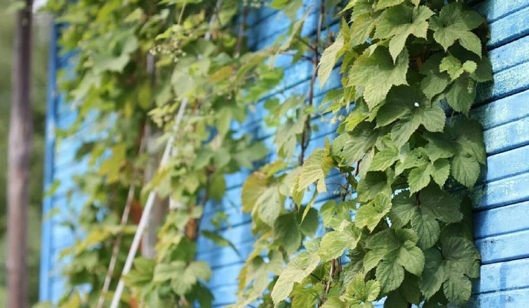 Du houblon poussera bientôt sur les murs de Paris
