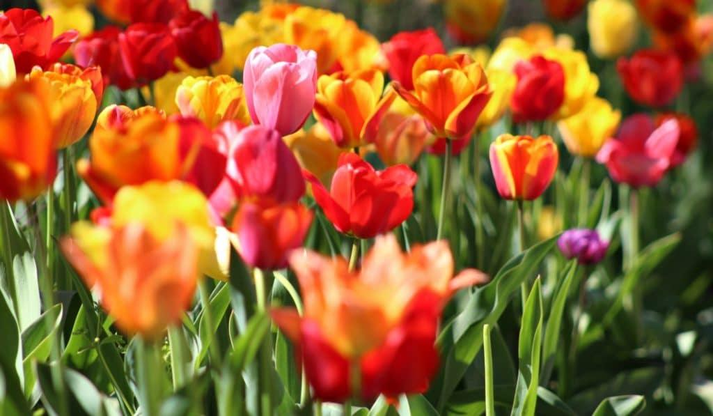 Une Fête des Tulipes aura lieu à Paris ce week-end !