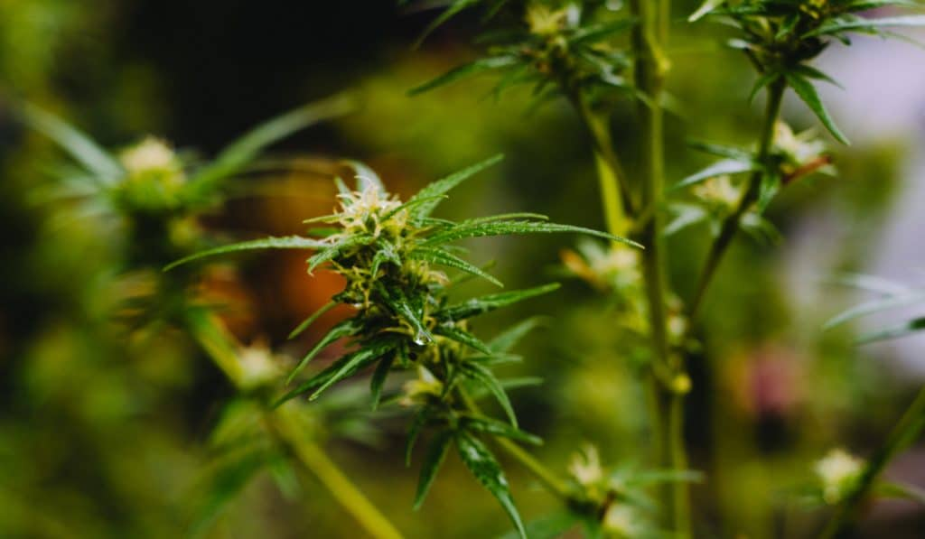 Le premier magasin de cannabis ouvre à Paris… et en toute légalité!
