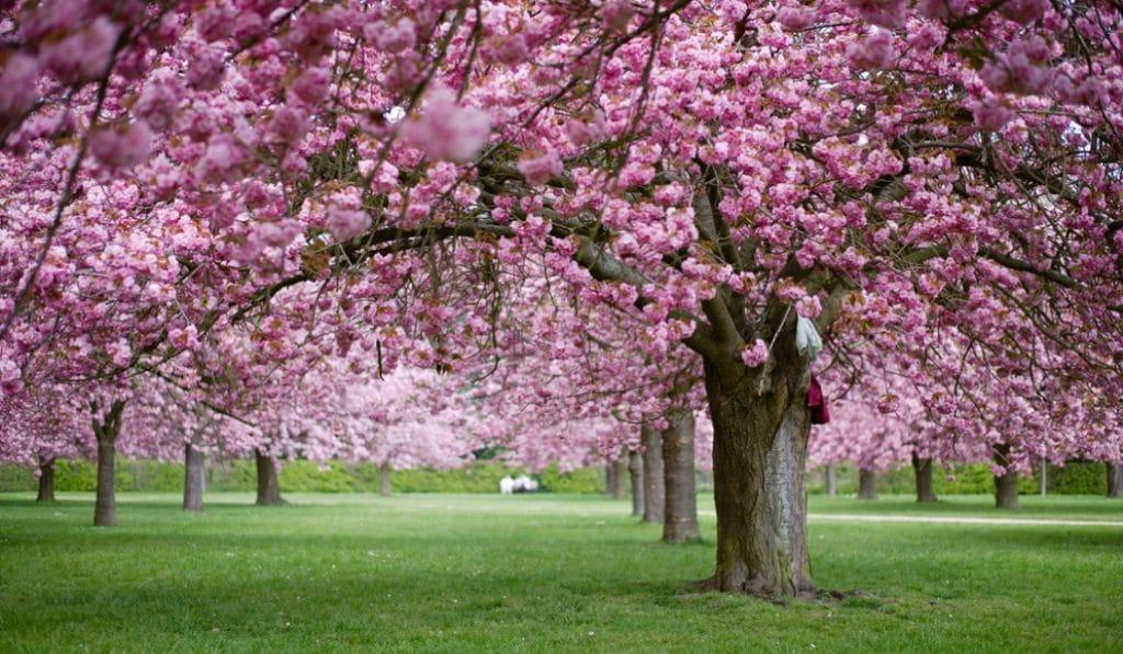 Un Hanami (fête des cerisiers en fleurs) aura lieu au Parc de Sceaux !