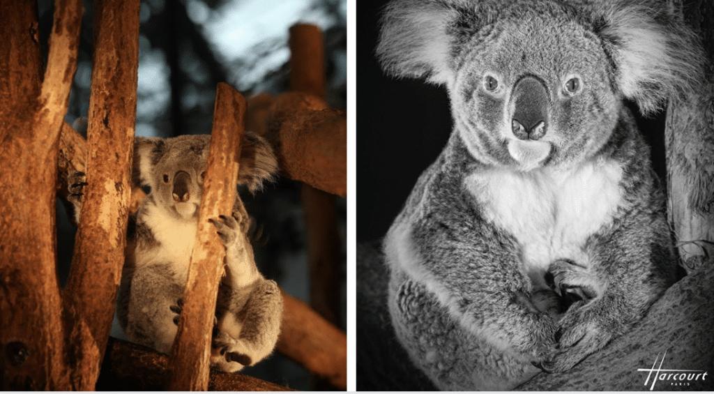 Le Studio Harcourt signe le portrait d'un koala afin de récolter des fonds pour l'Australie