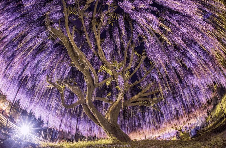 Le plus bel arbre centenaire du monde se trouve au Japon !