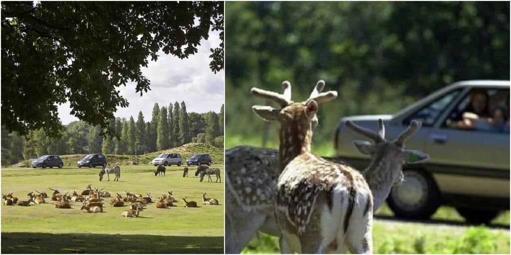 Le Zoo de Thoiry rouvre ses portes pour des Safaris en voiture !