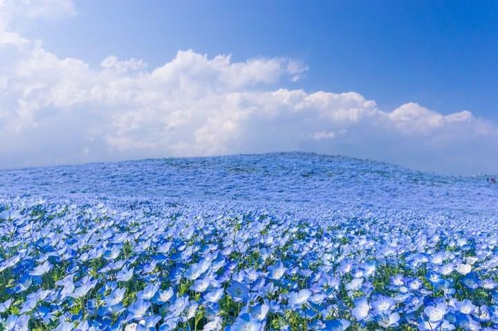 Au Japon, 5 millions de fleurs bleues offrent un paysage féérique…