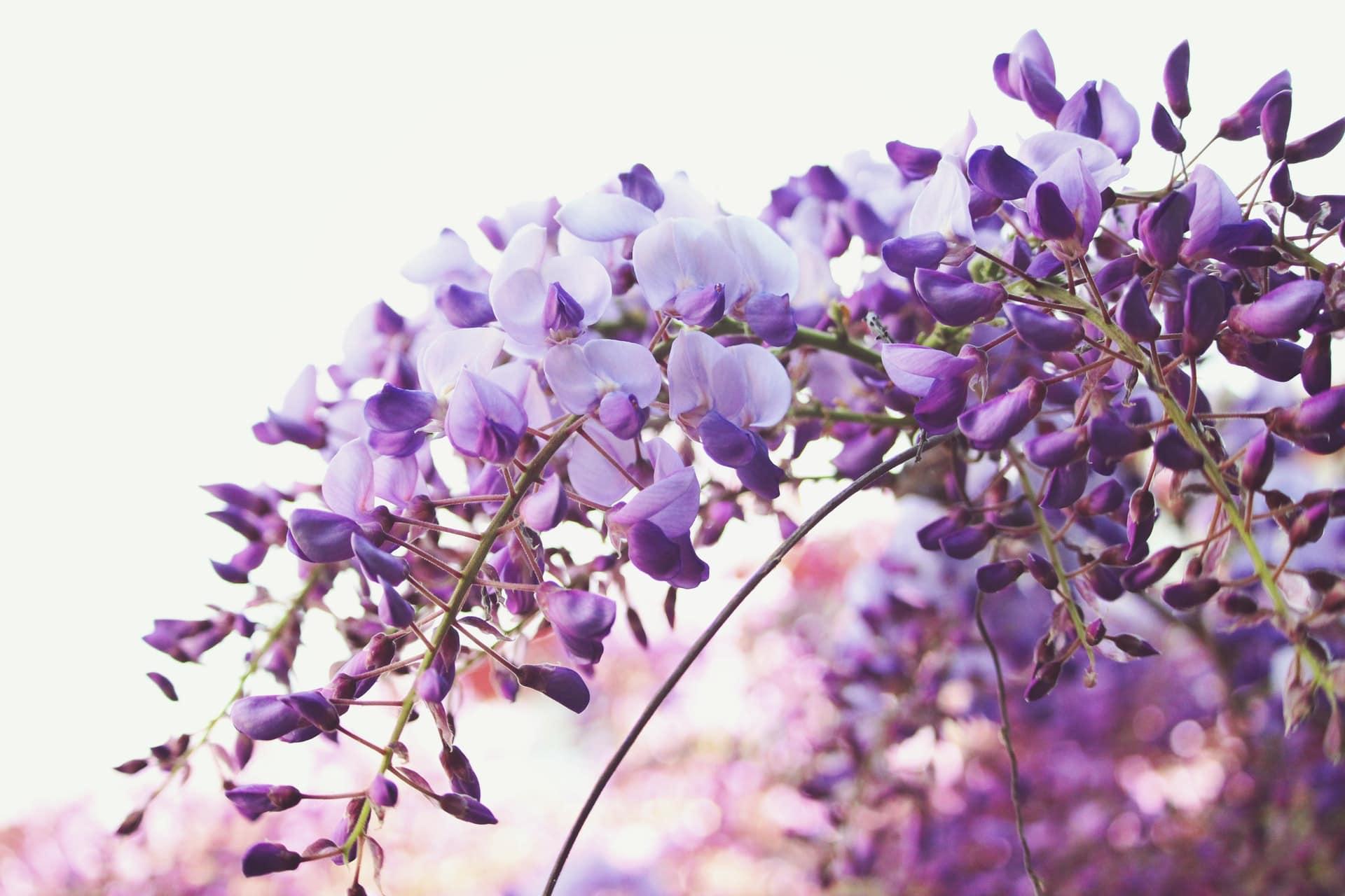 glycine paris centenaire rasée fleurs violettes printemps montmartre