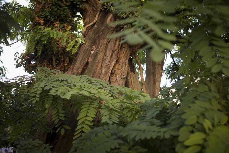 Plus vieil arbre de Paris 419 ans robinier square Viviani