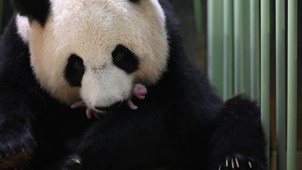naissance panda beauval zoo chine france jumelles bébés