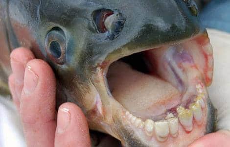 pacu poisson paris seine piranha