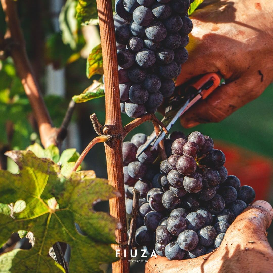 vinho vindimas