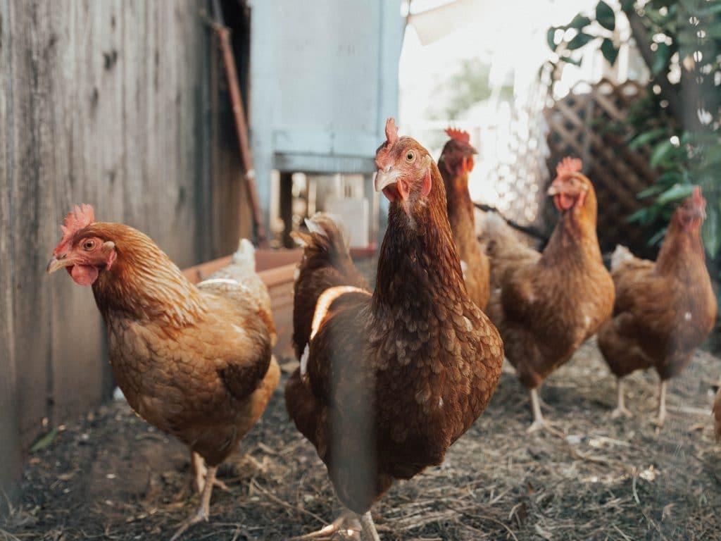 L'élevage de poules urbaines sera bientôt permis à Lévis