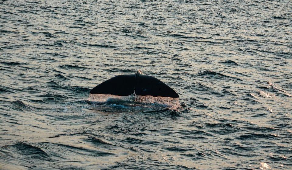 Cette carte interactive vous aide à repérer des baleines noires dans le Saint-Laurent