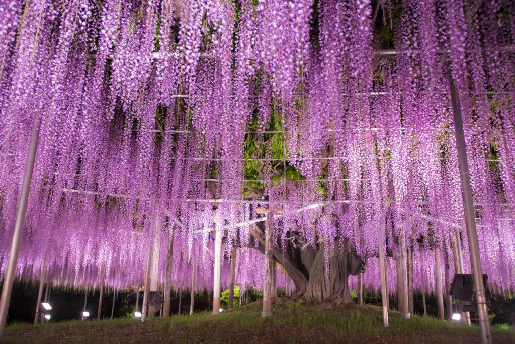 Árvore Glicínia Japão